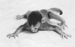 Asphyxiated monkey